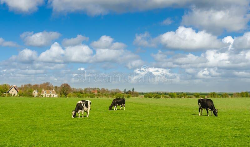 Holenderskie krowy z zielonym obszarem trawiastym w wiośnie obraz royalty free