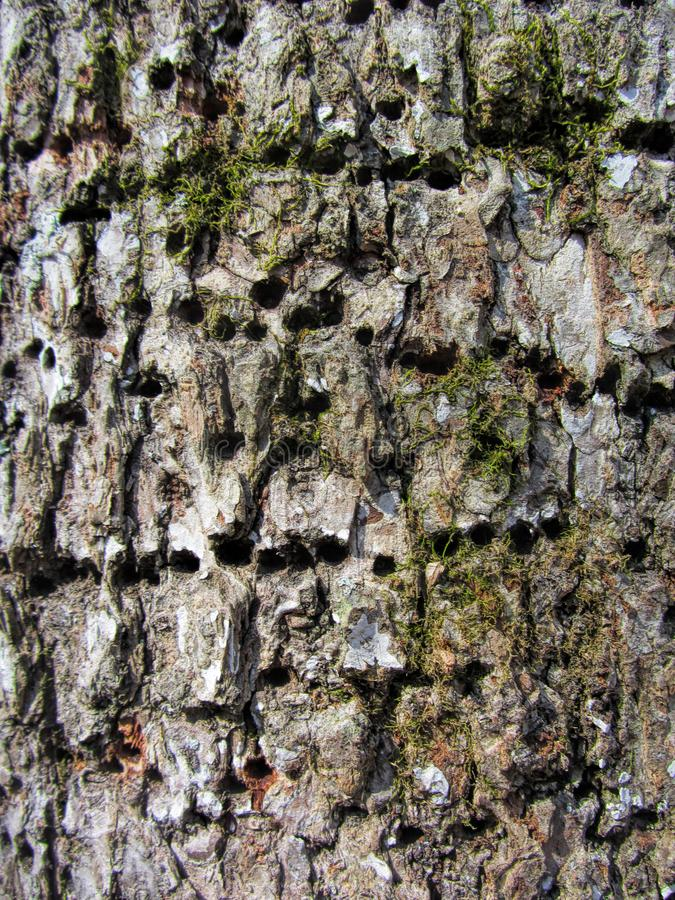 Woodpecker Holes in Pecan Tree Bark. These are the holes made by woodpeckers in pecan tree bark stock images