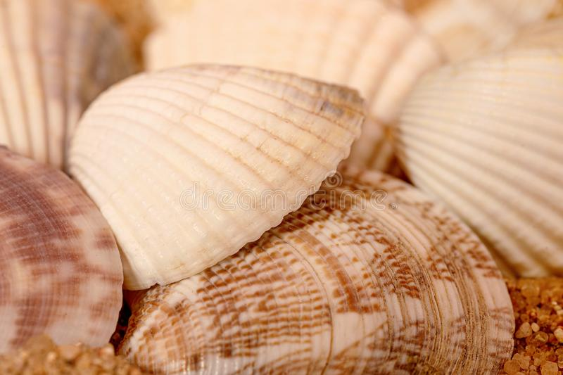 A close-up shot of a sea scallop. Filled frame royalty free stock images