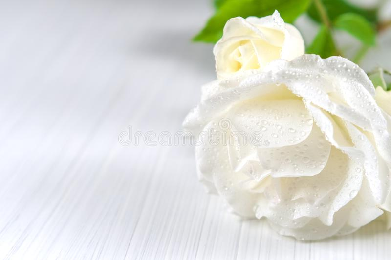 Holiday background. White roses with drops of dew on a light textured background royalty free stock photography