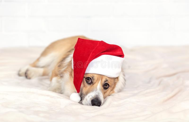 Holiday card with cute ginger puppy dog Corgi in Santa`s Christmas red hat lying on white plaid royalty free stock photo