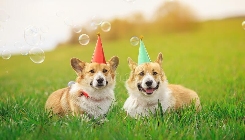 Two funny Corgi dogs lie in the green grass in colored caps with soap bubbles on a Sunny clear day. Holiday card two funny Corgi dogs lie in the green grass in royalty free stock photo