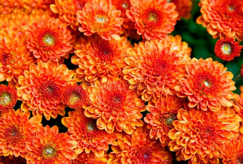 Holiday Chrysanthemums Royalty Free Stock Image