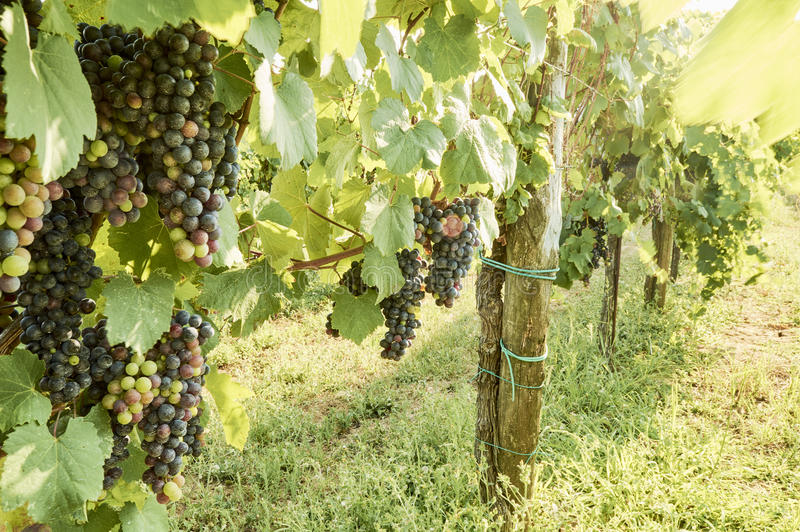 Holiday in the countryside on the hills, visiting the vineyards of pallagrello, typical and valuable wine produced in stock photo