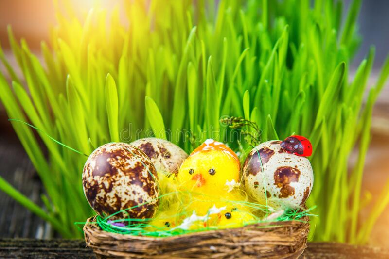 Holiday Easter background. Easter postcard background image. Quail eggs decorated on wood. Little decorative yellow birds in a nest and green grass around, sun stock photography