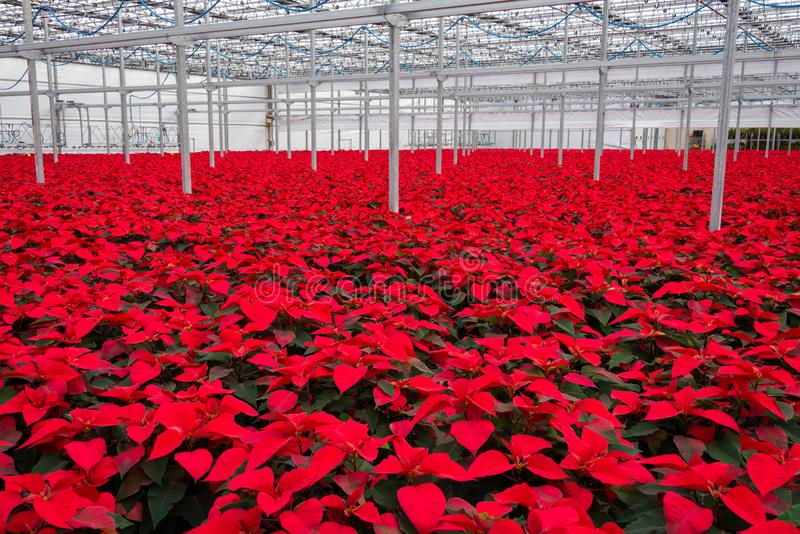 Indoor large greenhouse poinsettia flowers royalty free stock photography
