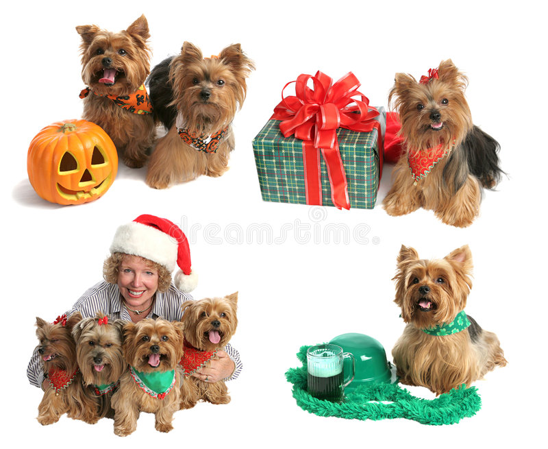 Holiday Yorkie Collection royalty free stock photo