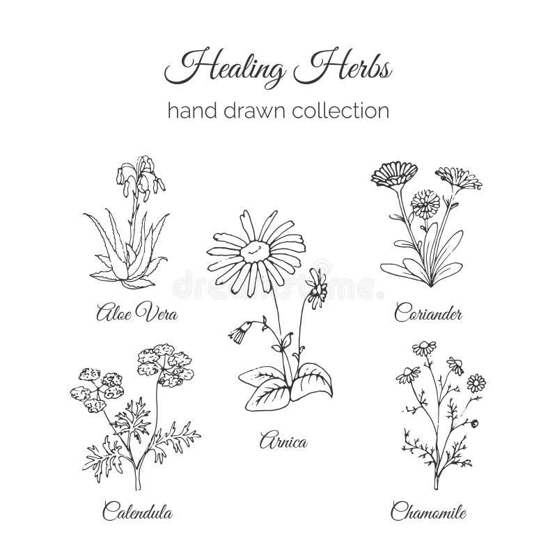 holistic medicin Läka örtillustrationen Aloe vera, arnika, Calendula, kamomill och Coriande Vektor Ayurvedic royaltyfri illustrationer