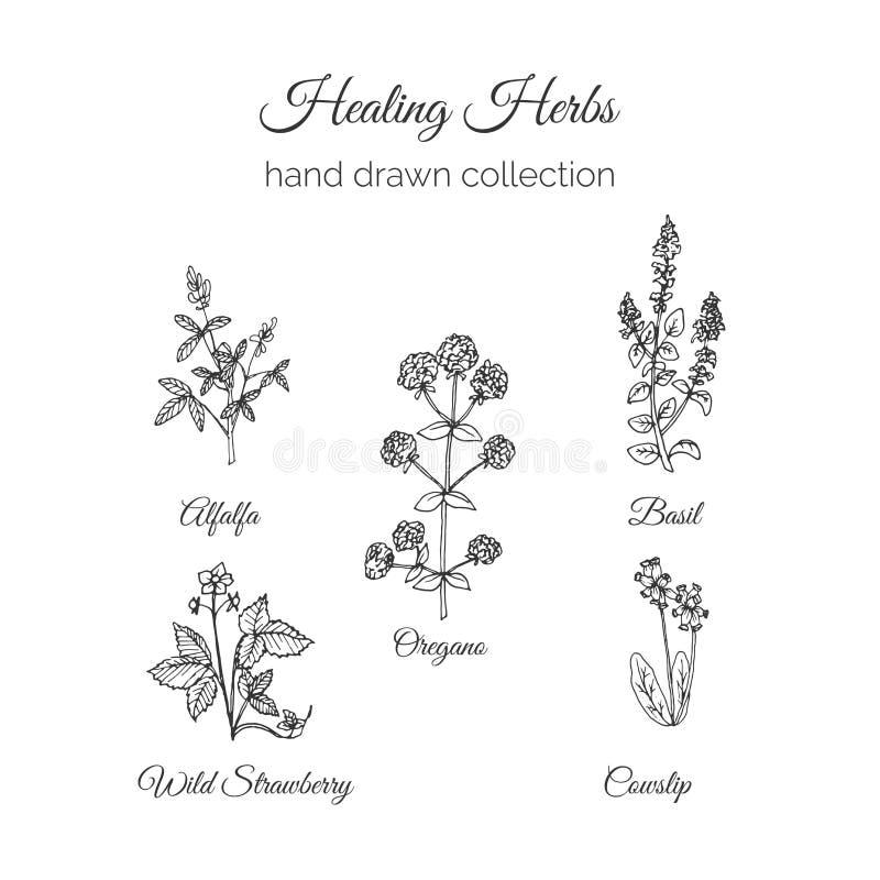 holistic medicin Läka örtillustrationen Handdrawn alfalfa, oreganon, basilika, gullviva och lös jordgubbe hälsa stock illustrationer