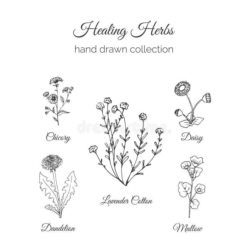 holistic medicin Läka örtillustrationen Handdrawn Handdrawn cikoria, maskros, lavendelbomull, malva och tusensköna stock illustrationer