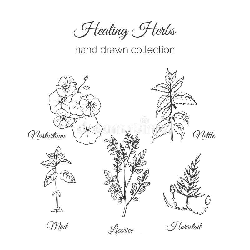 holistic medicin Läka örtillustrationen Handdrawn indiankrasse, nässla, mintkaramell, lakrits och Horsetail Hälsa och royaltyfri illustrationer
