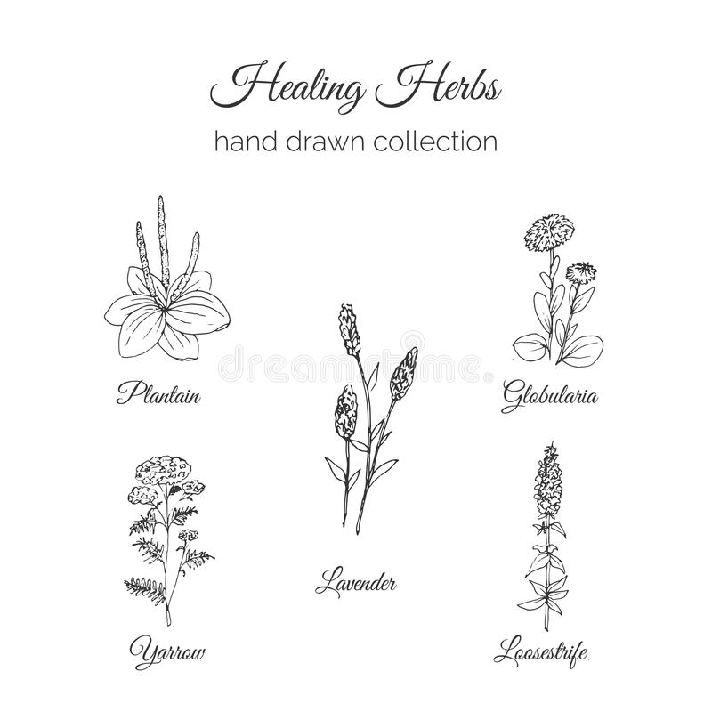 holistic medicin Läka örtillustrationen Handdrawn pisang, lavendel, Globularia, Loosestrife och Yarrow vektor vektor illustrationer