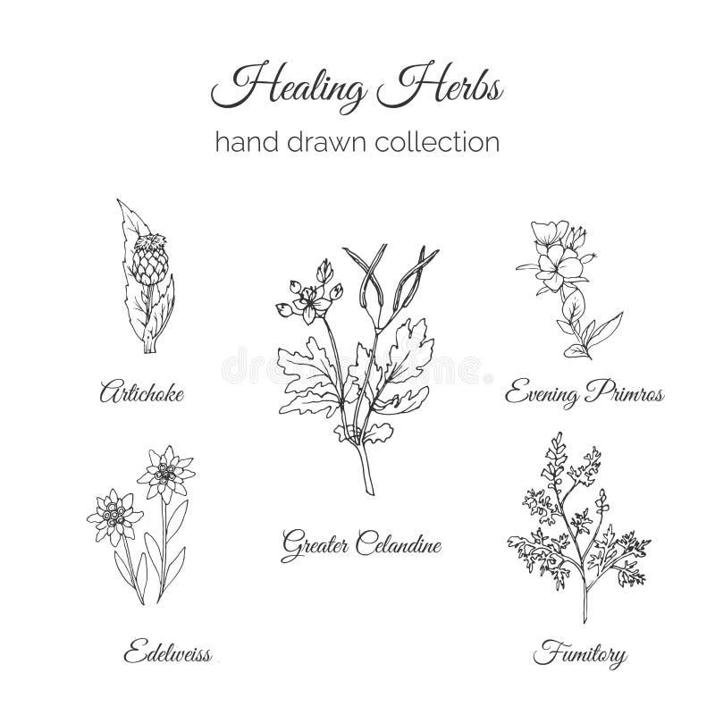 holistic medicin Läka örtillustrationen Kronärtskocka, större Celandine, afton Primros, Fumitory och edelweiss stock illustrationer