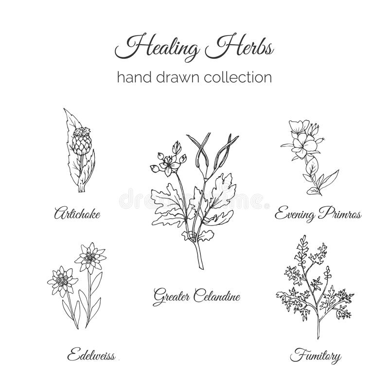 Holistische Medizin Heilende Kraut-Illustration Artischocke, größerer Celandine, Primros, Fumitory und Edelweiß glättend stock abbildung
