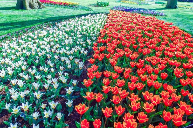 Holländare parkerar med att blomstra röda vita gula och blåa tulpan royaltyfria bilder