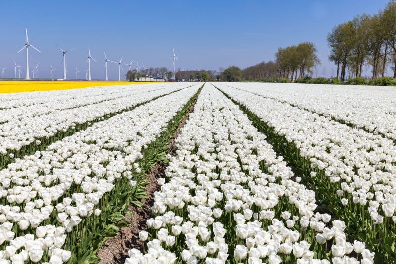 Holländerfelder mit weißen Tulpen und Windkraftanlagen stockfotos