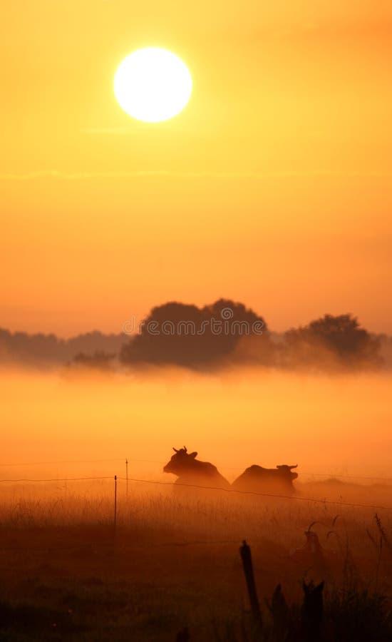 Holländische Kühe im Morgennebel lizenzfreies stockbild