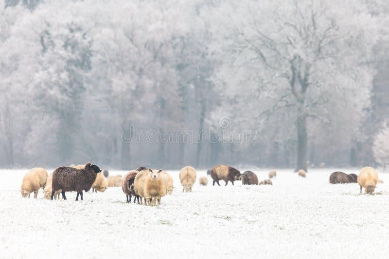 Holländische Schafe in einer Winterlandschaft lizenzfreies stockbild