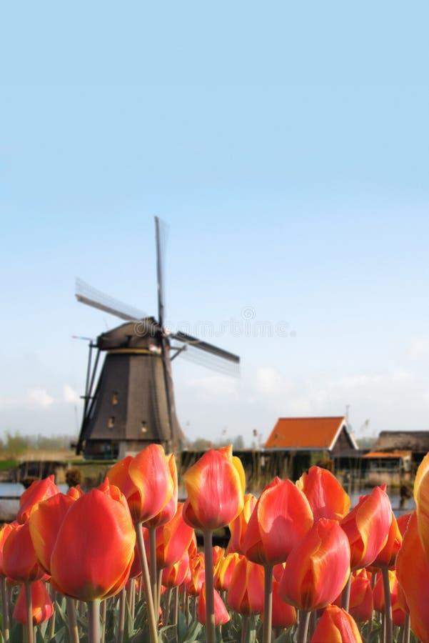 Holländische Tulpe-Fühler Feld und Windmühlen-Landschaft stockfoto