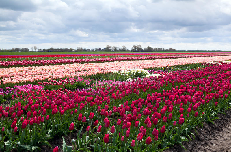 Holländische Tulpefelder lizenzfreies stockfoto