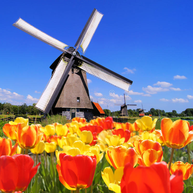 Holländische Tulpen und Windmühlen lizenzfreie stockfotos