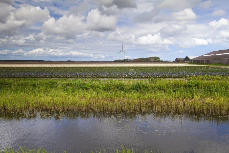 Holländischer Tulpebauernhof lizenzfreies stockfoto