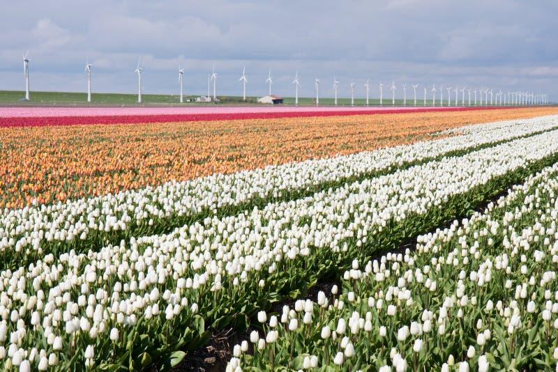 Holländisches Feld der bunten Tulpen mit Windmühlen stockbilder
