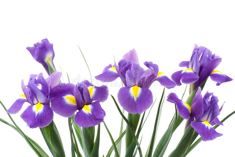 holländsk iris royaltyfri bild