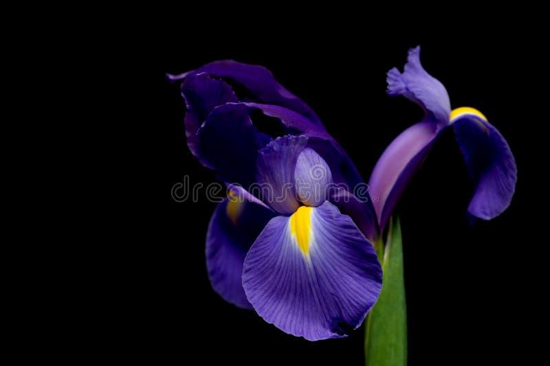 Download Holländsk iris arkivfoto. Bild av älskvärt, fjäder, sommar - 513808