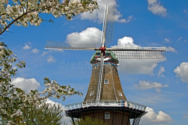 Holländsk väderkvarn med körsbärsröda blomningar arkivbild