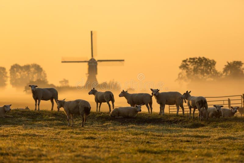 Holländska får i morgonmist arkivbild