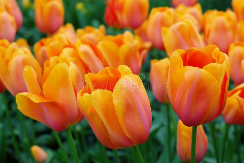 holländska orange tulpan arkivfoto