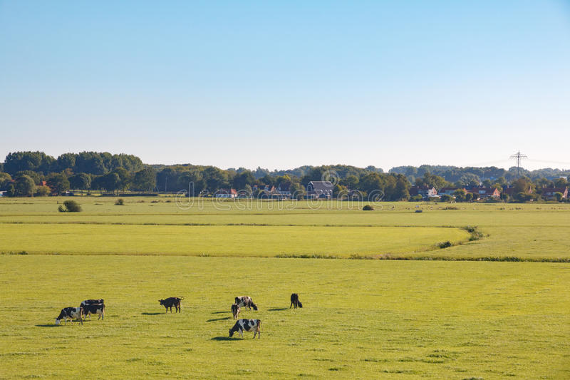 Holländskt änglandskap med kor i morgonsol royaltyfri foto