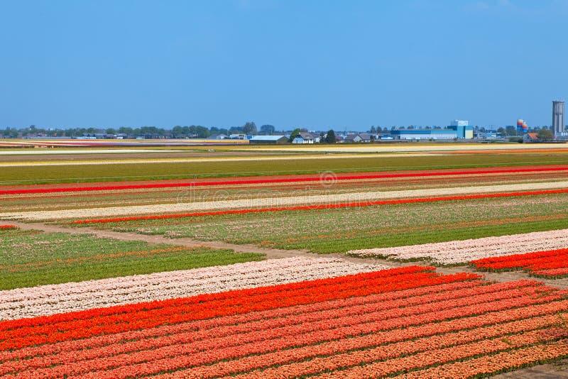 Holländskt kulafält av färgrika tulpan royaltyfria foton