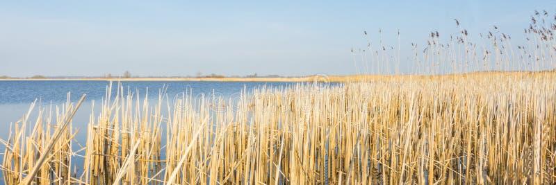 Holländskt landskap för panorama med vassen royaltyfri fotografi