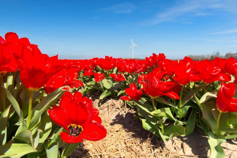 Holländskt landskap med röda tulpan arkivfoto