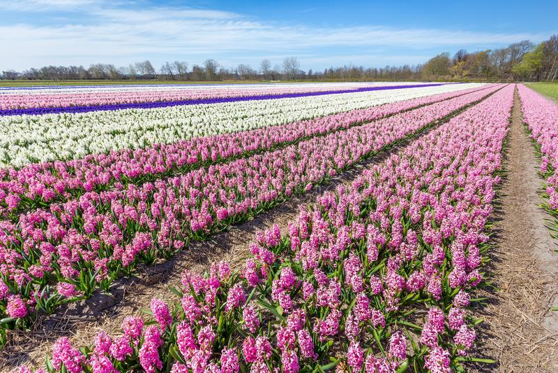 Holländskt landskap med rader av rosa hyacintblommor fotografering för bildbyråer