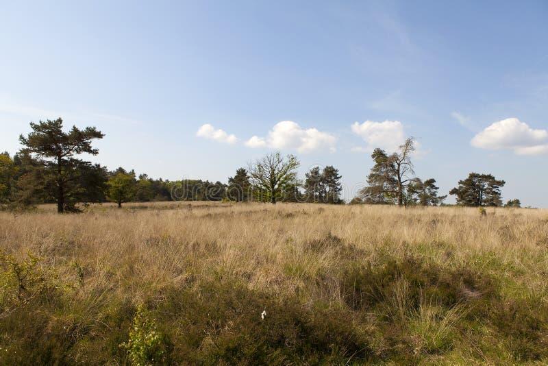 Holländskt ljungfält i tidig vår royaltyfri fotografi