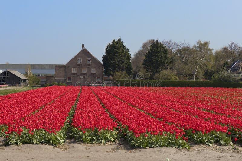 holländskt tulpanfält för raditional med rader av röda blommor och kulaskjul i bakgrunden arkivbild