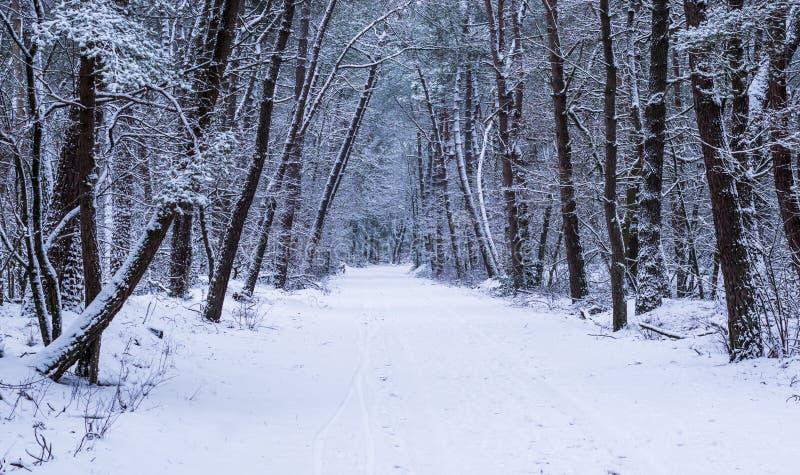 Holländskt vinterskoglandskap som täckas i vit snö, härlig väg i träna, europeisk skog i Nederländerna arkivfoton