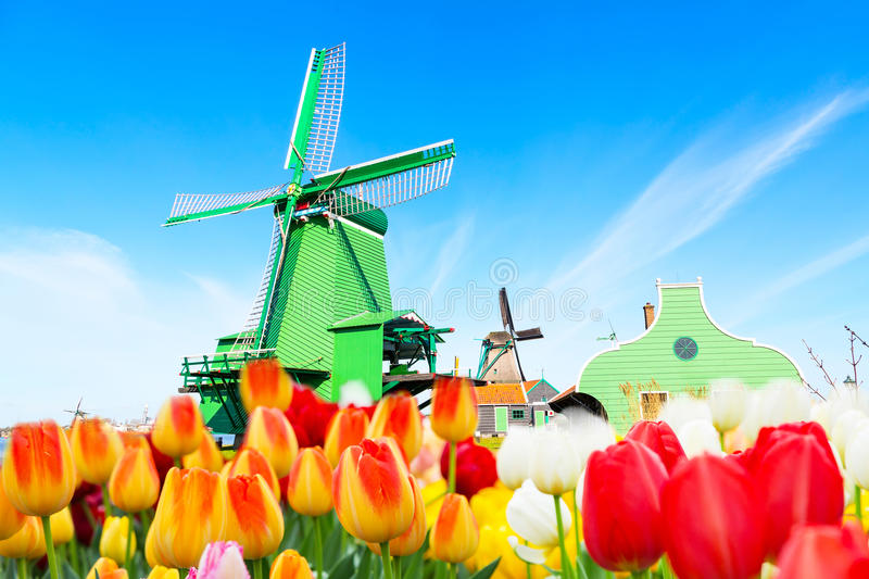 Holland background panorama with tulips and green windmill in traditional village in Holland royalty free stock photos