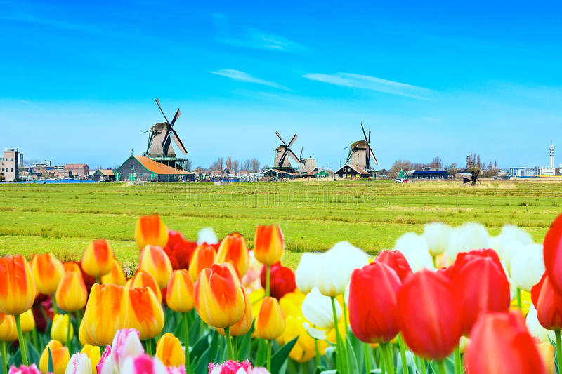 Background panorama with tulips and windmills in traditional village in Holland royalty free stock photography