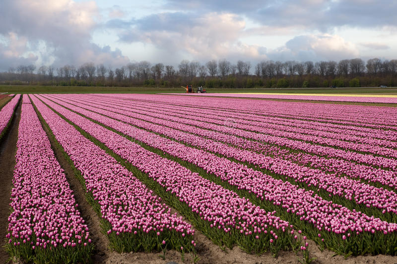 Holland at dawn in springtime