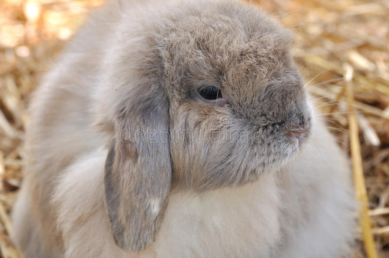 Download A Holland lop stock photo. Image of cute, lovely, gray - 18733420