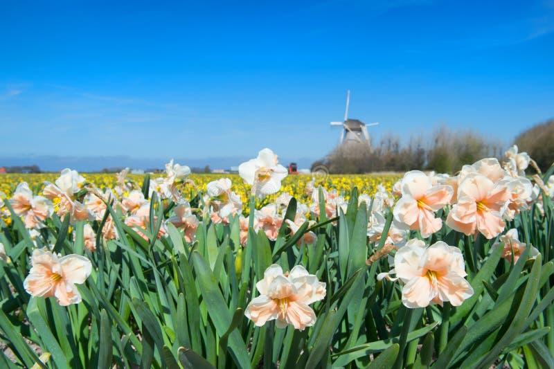 Holland med den blommakulor och väderkvarnen arkivbild