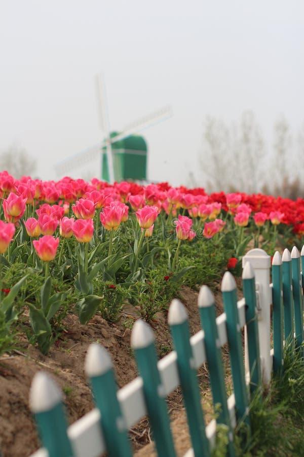 Holland-Szene - Tulpen und Windmühle lizenzfreie stockfotos