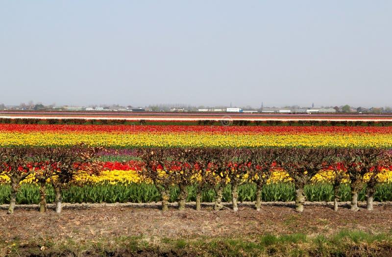 Download Holland tulip fields stock photo. Image of easter, keukenhof - 30938514