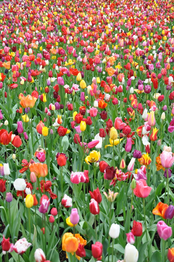 holland tulipany śródpolni tulipany zdjęcia royalty free