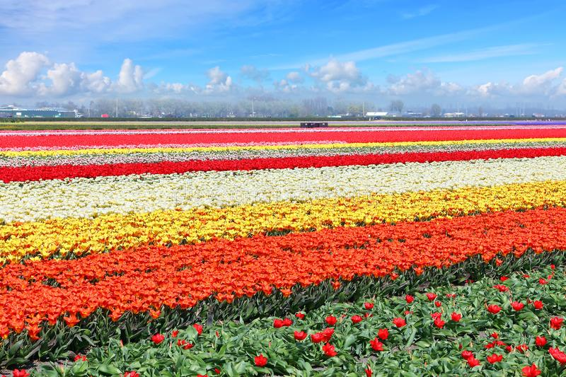Holland tulips field stock photo