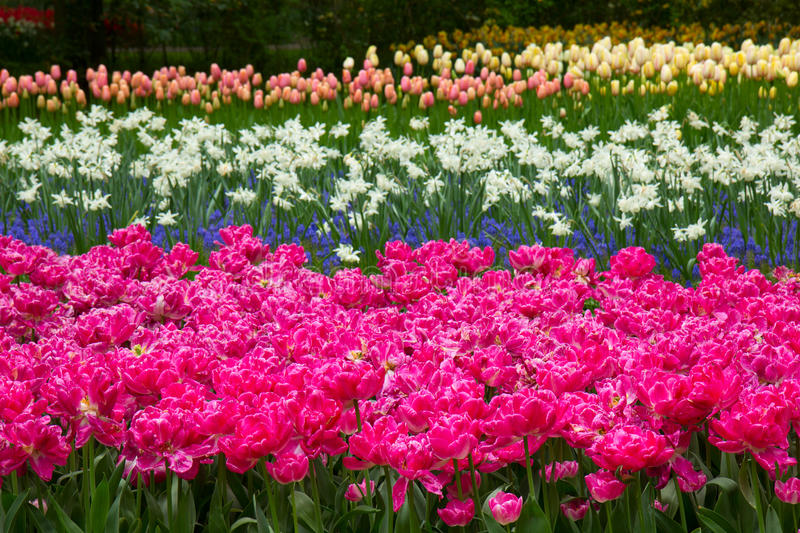 Holland tulips field with rows of flowers stock images